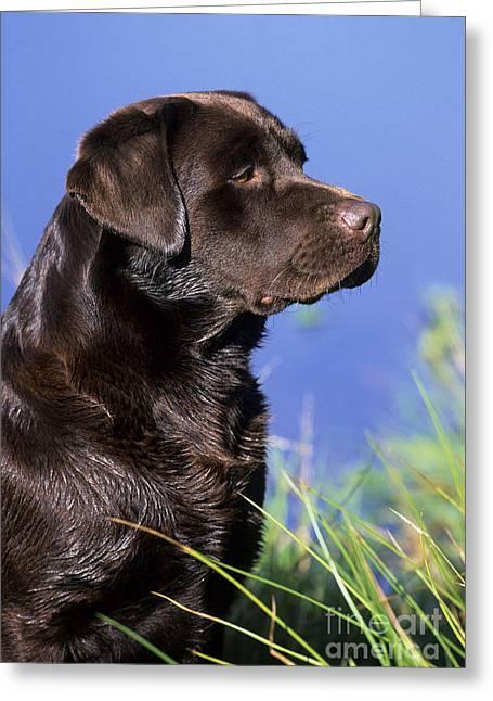 Chocolate Labrador Greeting Card by Jean-Louis Klein & Marie-Luce Hubert