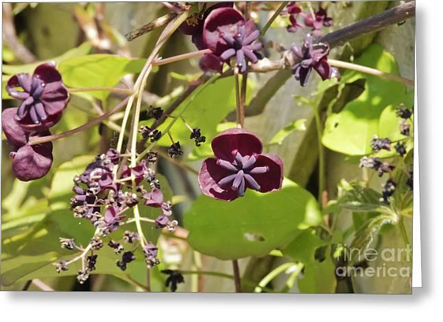 Chocolate Vine Greeting Card by Terri Waters