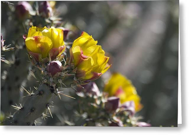 Cholla Blooms Greeting Card