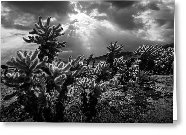 Greeting Card featuring the photograph Cholla Cactus Garden Bathed In Sunlight In Black And White by Randall Nyhof