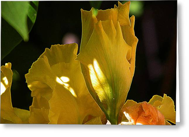 Yellow Iris Greeting Card by Stuart Turnbull