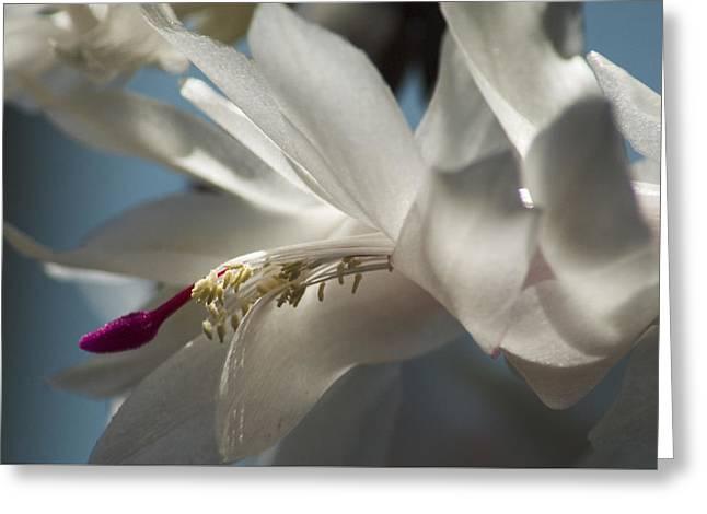 Christmas Cactus Blossom Greeting Card