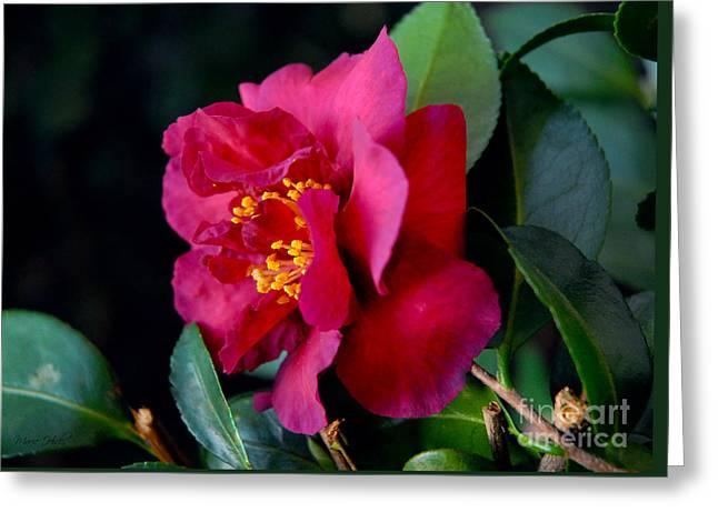 Greeting Card featuring the photograph Christmas Camellia by Marie Hicks