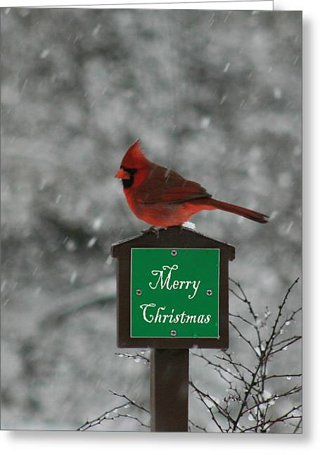 Christmas Cardinal Male Greeting Card