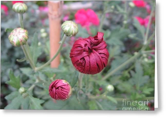Chrysanthemum 21 Greeting Card