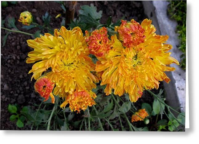 Chrysanthemum 6 Greeting Card