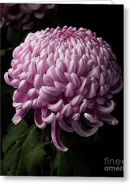 Chrysanthemum  Greeting Card