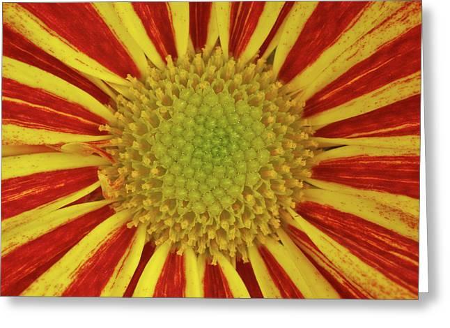 Chrysanthemum Close-up Greeting Card by Christine Amstutz
