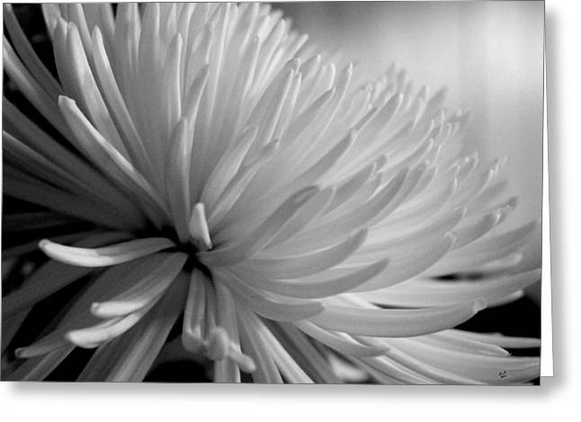 Chrysanthemum In Black And White Greeting Card by Betty Northcutt