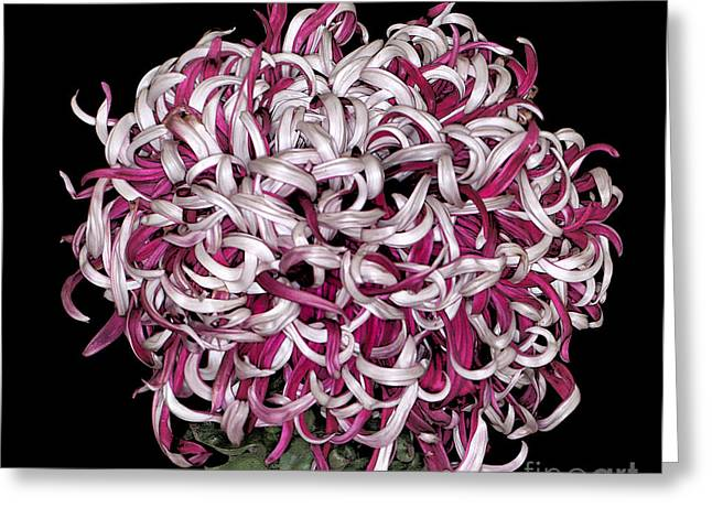 Chrysanthemum 'lili Gallon' Greeting Card