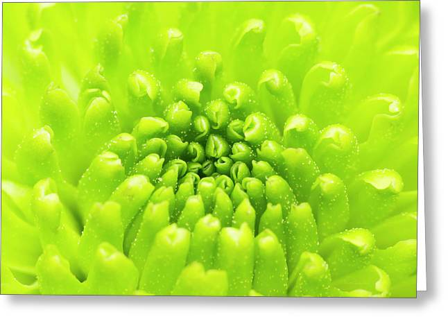 Chrysanthemum Macro Greeting Card
