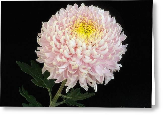 Chrysanthemum 'otome Pink' Greeting Card