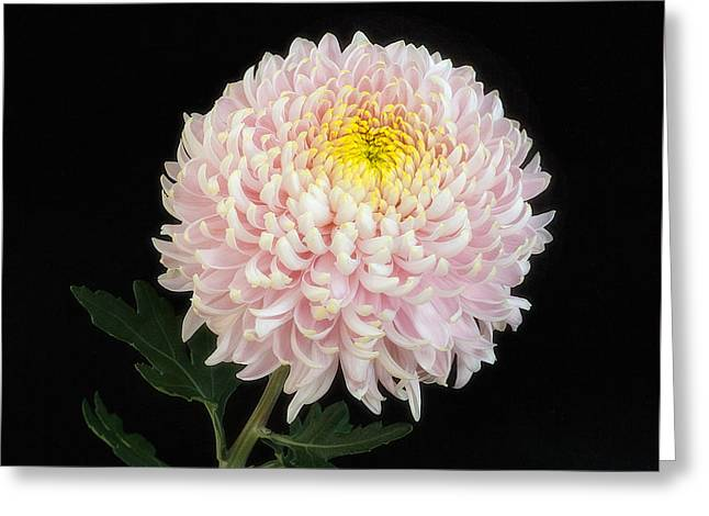 Chrysanthemum 'otome Pink' Greeting Card