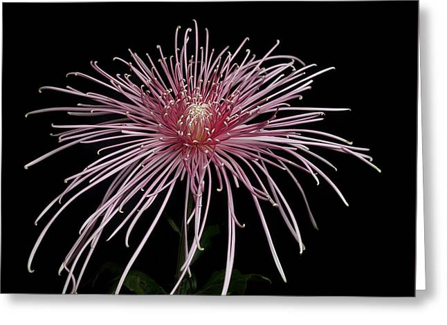Chrysanthemum 'pink Splendor' Greeting Card
