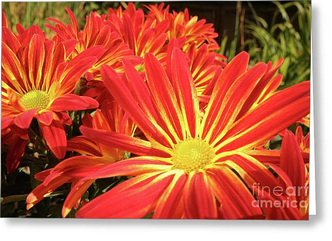 Chrysanthemums Greeting Card by Christine Amstutz