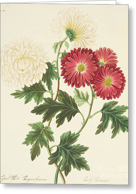 Chrysanthemums Greeting Card by Margaret Roscoe