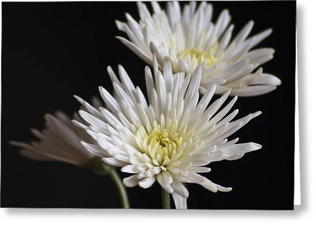 Chrysanthemums Greeting Card by Svetlana Sewell