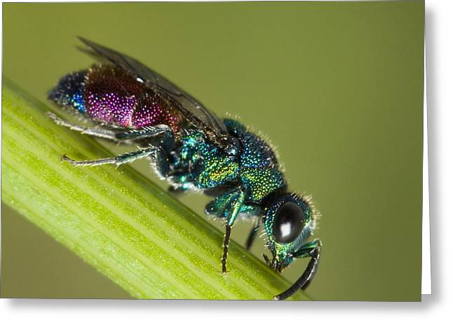 Chrysidid Wasp Greeting Card by Andre Goncalves