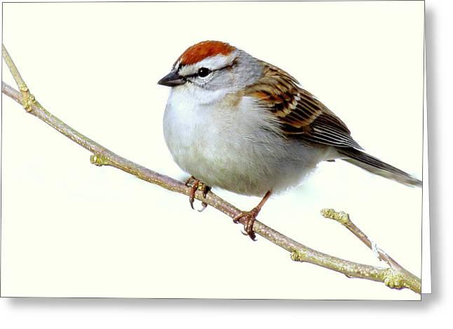 Chubby Sparrow Greeting Card