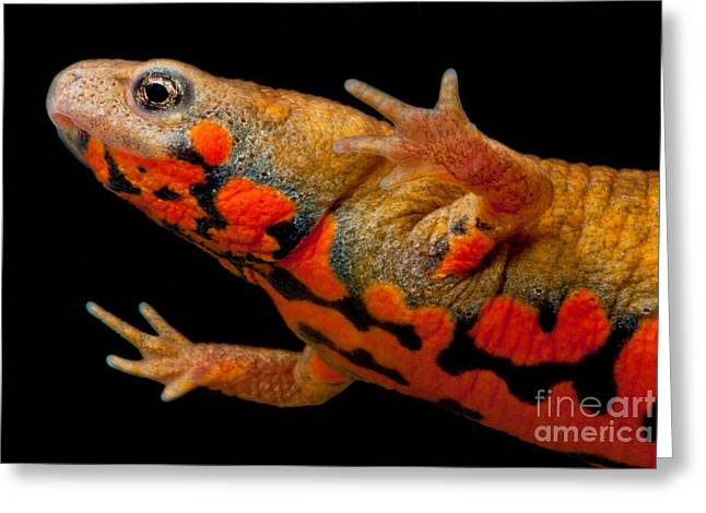 Chuxiong Fire Belly Newt Greeting Card by Dant� Fenolio
