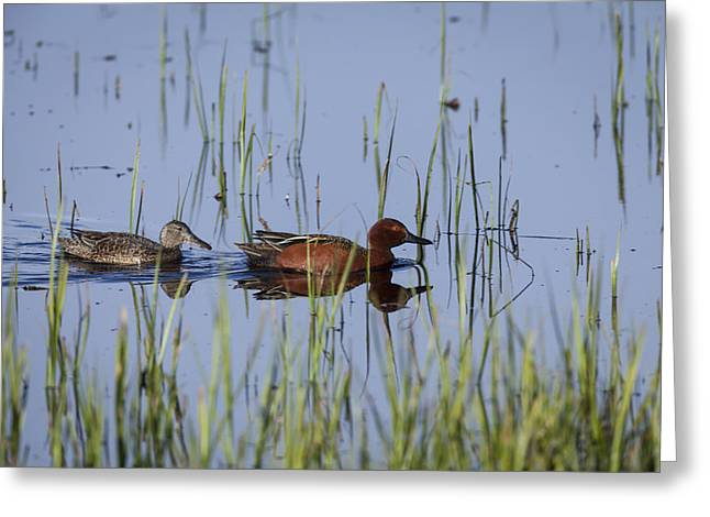 Cinnamon Teal Pair Greeting Card