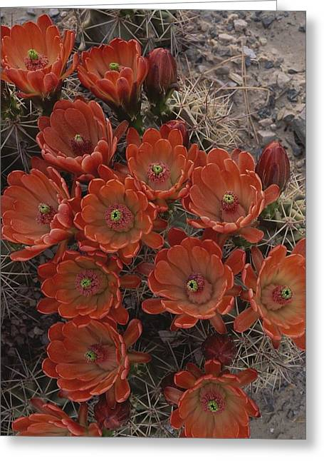 Claret Cup Cactus Flowers Greeting Card by Michael Melford