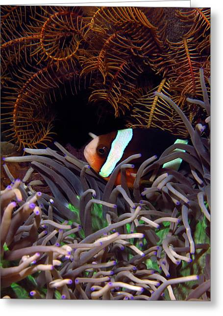 Clark's Anemonefish, Indonesia 2 Greeting Card
