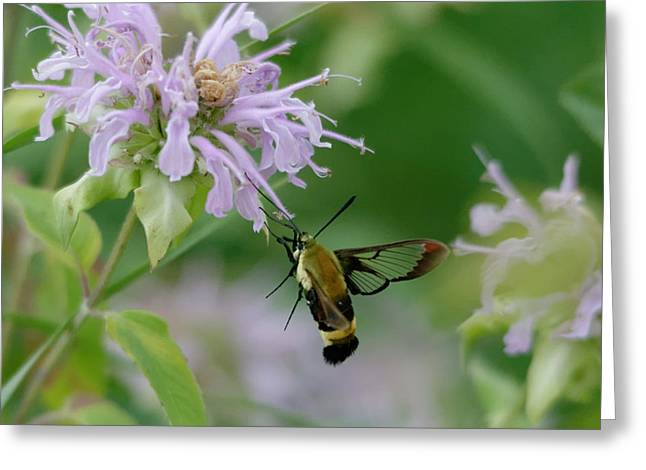 Clearwing Moth Greeting Card