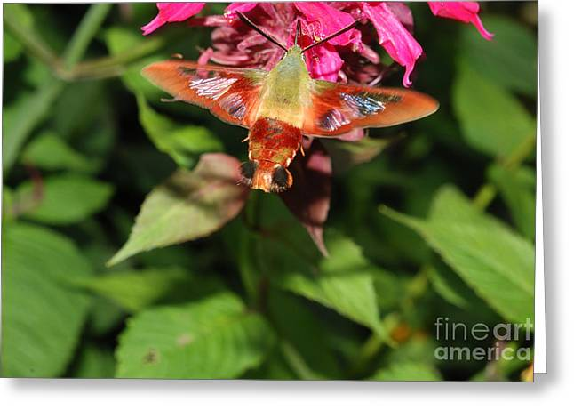Clearwing Moth At Bee Balm Greeting Card