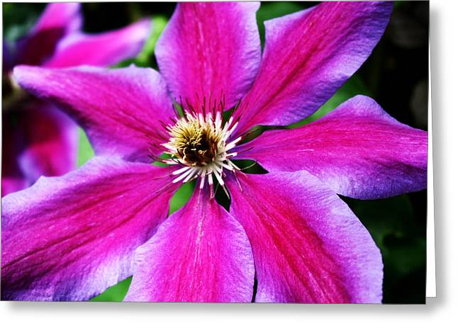 Clematis Flower Greeting Card by Cathie Tyler