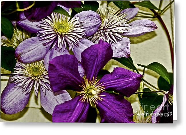Purple Clematis Flower Vines Greeting Card by Carol F Austin