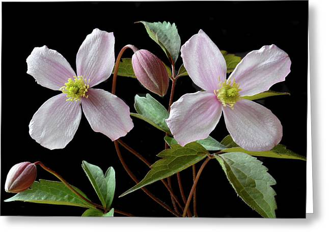 Greeting Card featuring the photograph Clematis Montana Rubens by Terence Davis