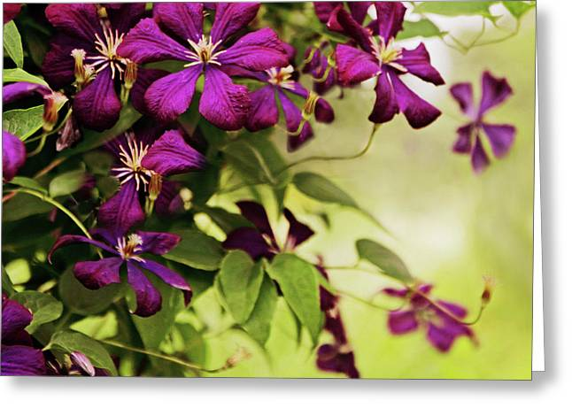 Clematis On The Vine Greeting Card