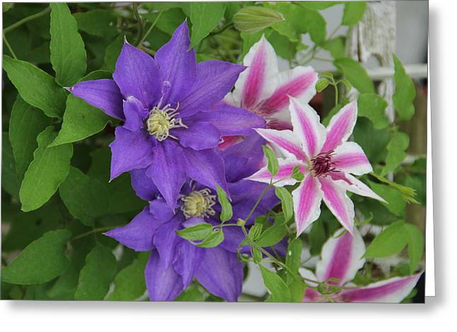 Clematis Purple And Pink White Greeting Card