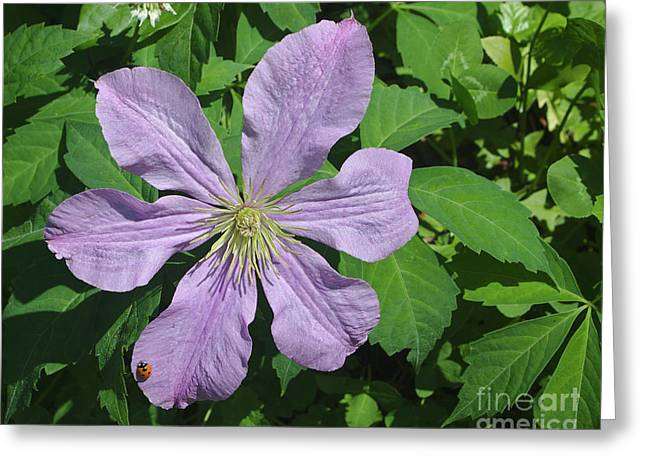 Clematis With Lady Bug Greeting Card