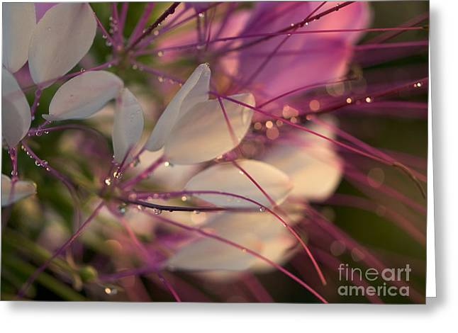 Cleome Flower In The Morning Greeting Card by Rachel Morrison