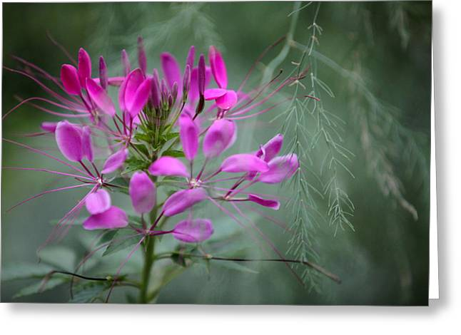 Cleome Greeting Card