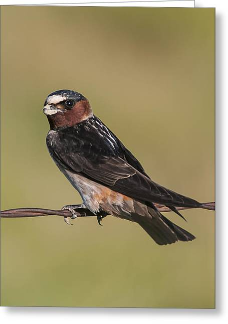 Cliff Swallow Greeting Card