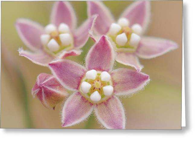 Greeting Card featuring the photograph Climbing Milkweed Flowers by Alexander Kunz