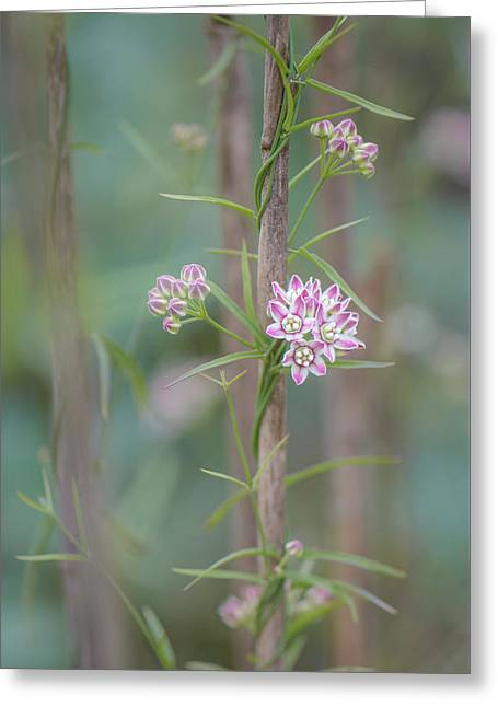Greeting Card featuring the photograph Climbing Milkweed On Old Reed by Alexander Kunz