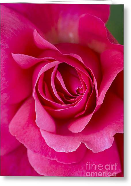 Climbing Rose Galway Bay Greeting Card by Tim Gainey