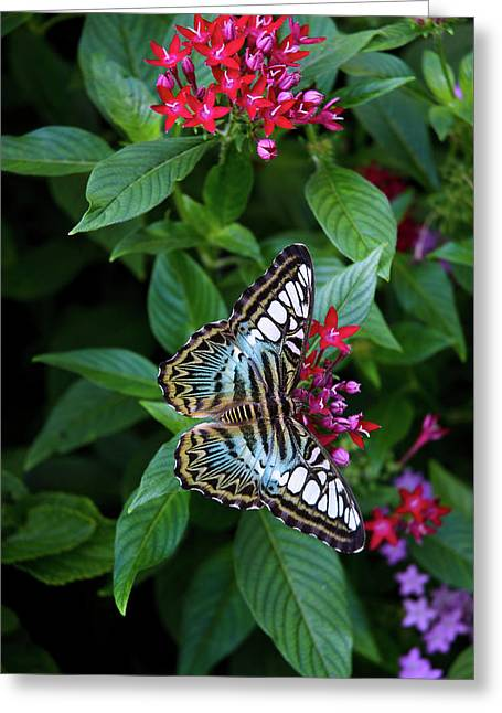Clipper Butterfly On Star Flower Greeting Card
