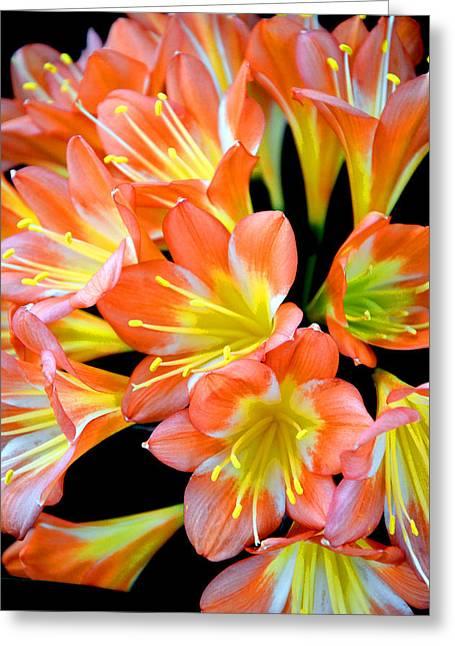 Clivia Miniata. Orange Flowered Form. Greeting Card by Andy Za
