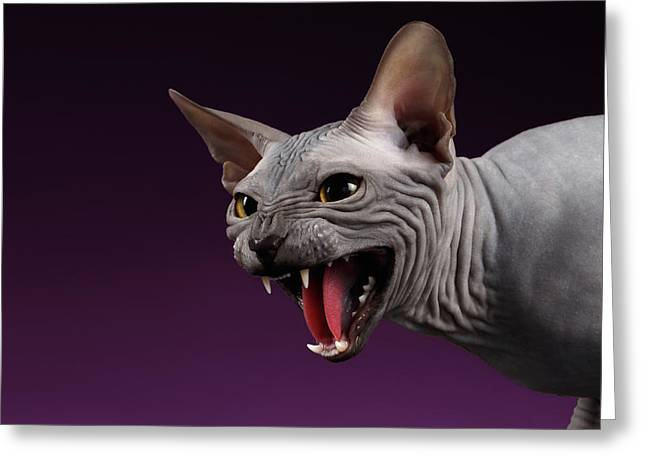 Close-up Aggressive Sphynx Cat Hisses On Purple Greeting Card by Sergey Taran