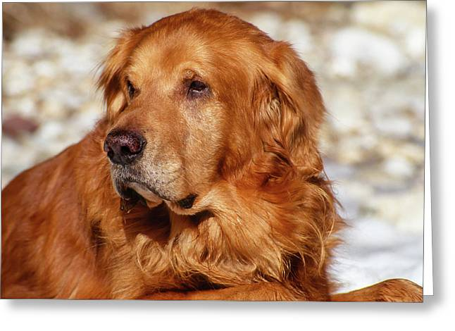 Close Up Big Male Golden Retriever Outdoor Portrait Greeting Card