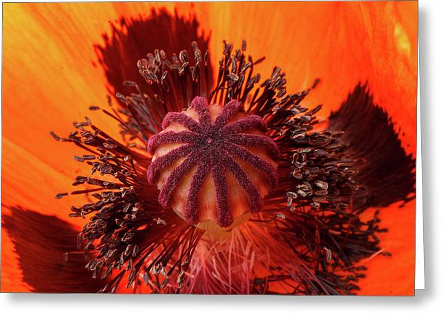 Close-up Bud Of A Red Poppy Flower Greeting Card