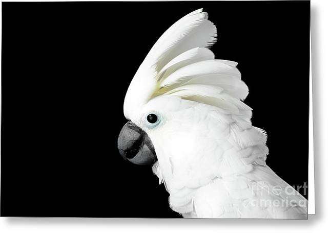 Close-up Crested Cockatoo Alba, Umbrella, Indonesia, Isolated On Black Background Greeting Card