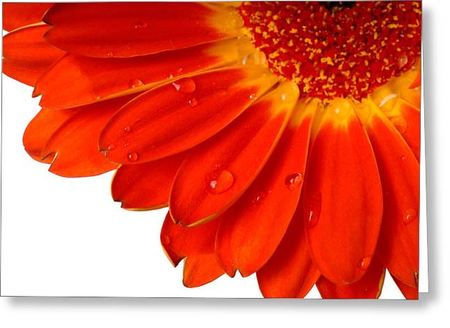 Close Up Detail Red Gerbera Daisy Greeting Card by Norman Pogson