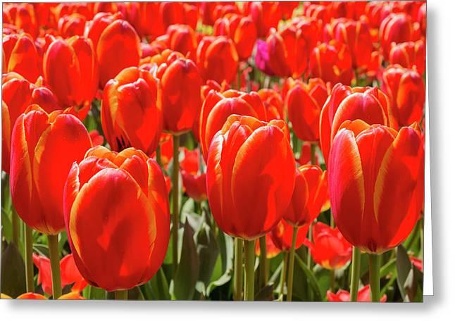 Close Up Double Toronto Tulips Greeting Card by Jamie Adams