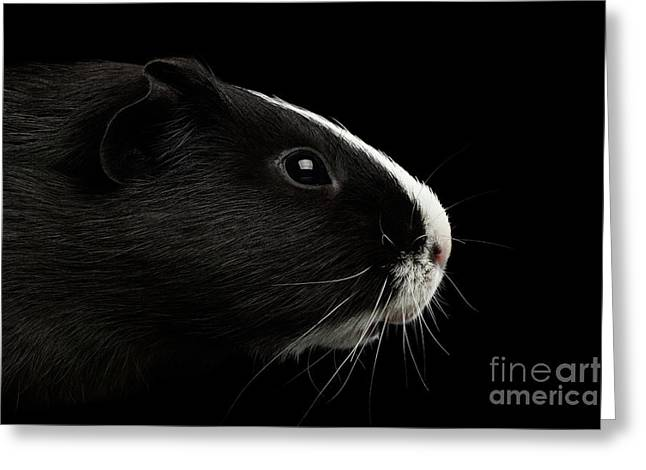 Close-up Guinea Pig On Isolated Black Background Greeting Card